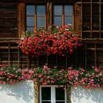 Naturalny nawóz do kwiatów balkonowych – jaki wybrać i kiedy stosować?