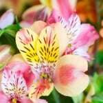 Liliowce – uprawa tych pięknych bylin ozdobnych